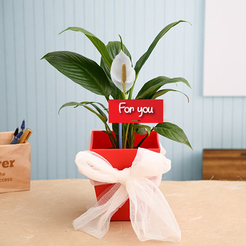 pw-peace-lily-special-plant.jpg