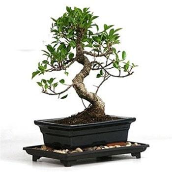 S Shape Bonsai Tree