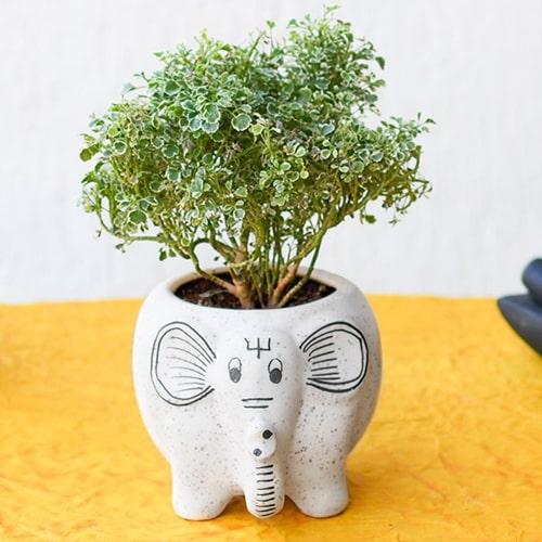Aralia Plant in a Ceramic Pot
