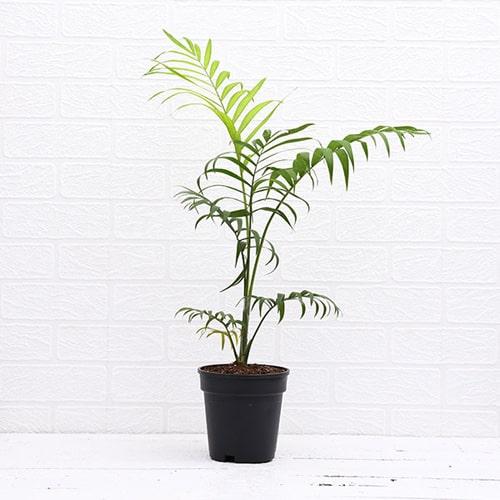 Chamaedorea Elegants Parlour Palm Plant