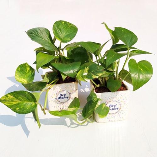 Money Plant in a Ceramic Pot