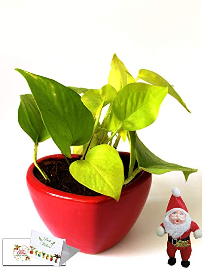 Christmas Gift- Good Luck Air Purifying Money Plant