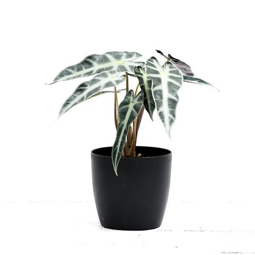 Alocasia Hybrid Plant