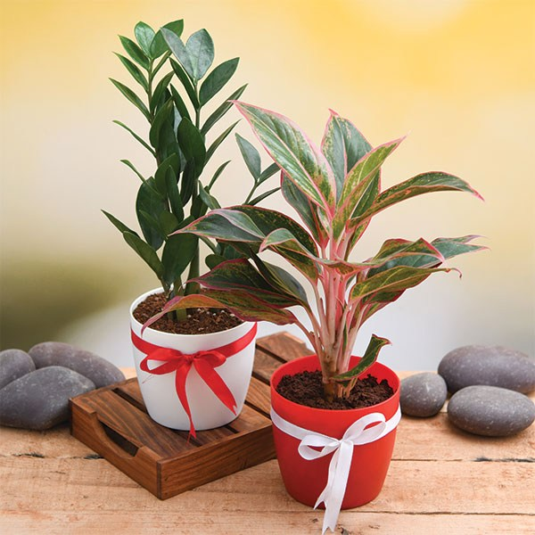 Christmas Gift- Evergreen Indoor Plant Pack