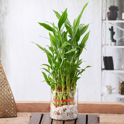 3 Layer Lucky Bamboo in a Glass Vase