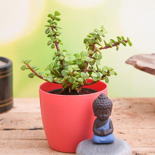 Jade Plant N Meditating Buddha