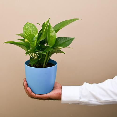 Money Plant Scindapsus Green