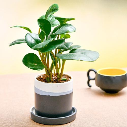 Peperomia in ceramic Pot