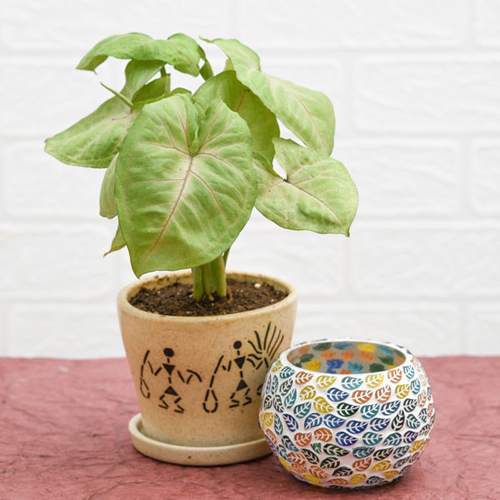 Syngonium in Ceramic Pot