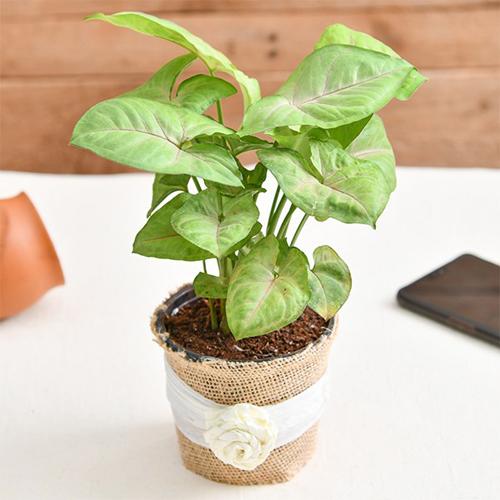 Syngonium Plant in a Jute wrap