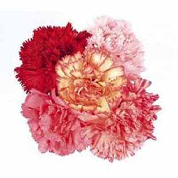 5 Mixed Carnations